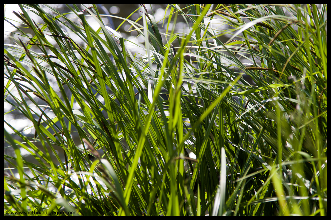 Grass along the banks of the upper Deschutes