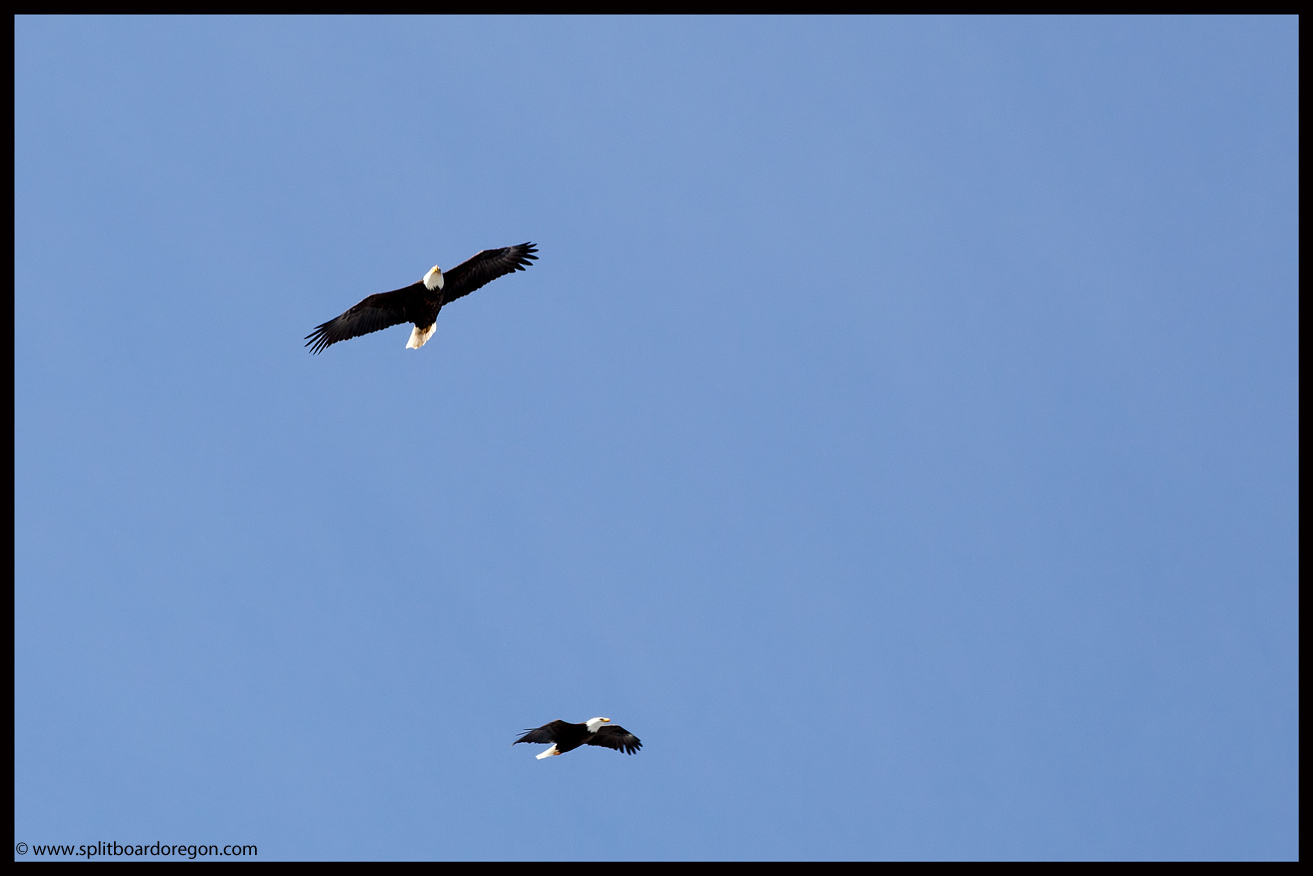 Bald Eagles circling the top of Eagle Peak