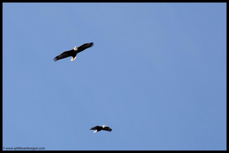 Bald Eagles circling the top of Eagle Peak