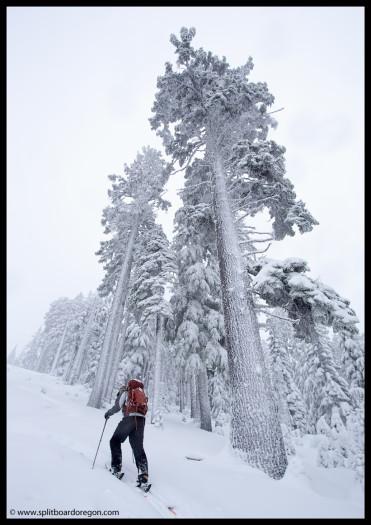 Big trees, big snow